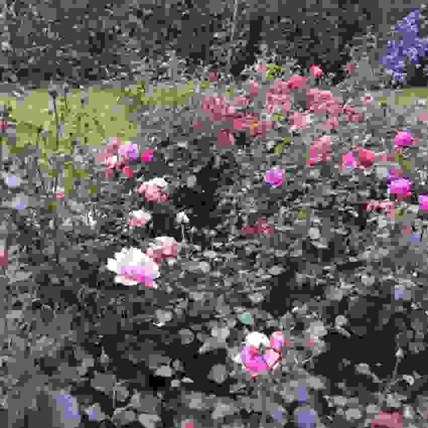 Bilde tatt av selger - Rosebed
